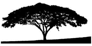 Silhouette du l'arbre-acacia Images stock
