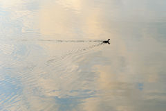 Silhouette of a duck creating ripples Stock Photo