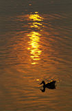Silhouette of duck on pond with sunset. Black silhouette of a duck on a pond with orange sunset reflection Royalty Free Stock Images