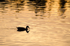 Silhouette of Duck Swimming in a Golden Pond as the Sun Sets Stock Images