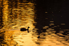 Silhouette of Duck Swimming in a Golden Pond as the Sun Sets Royalty Free Stock Photography