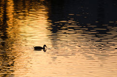 Silhouette of Duck Swimming in a Golden Pond as the Sun Sets Stock Image