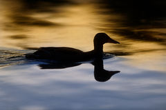 Silhouette of Duck on Water at Sunset. A duck is pictured in silhouette. The sunset has turned the water gold above his bodyline Stock Photography