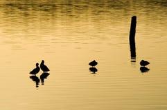 Silhouette of ducks Stock Photos