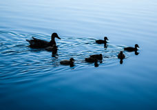 Silhouette of ducks on a lake. A mother Mallard Duck and her ducklings swimming across a lake at dusk Stock Image