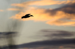 Silhouette of a Dusk Flying in the Dusky Sunset Sky Stock Photo