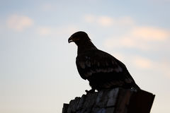Silhouette of eagle Stock Photography