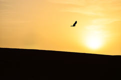 Silhouette of an Eagle Hovering Over the Sahara Desert. Silhouette shot of an eagle hovering over sand dunes in the Sahara Desert in Morocco Stock Photography