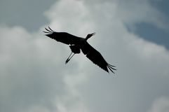 Silhouette of an egret. Egret in flight stock images