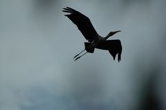 Silhouette of an egret. Egret in flight royalty free stock photo