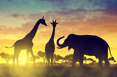 Silhouette elephant and giraffes on the savannah Royalty Free Stock Image