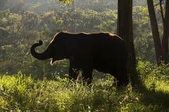 Silhouette of Elephant walking Stock Photos