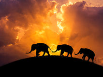 Silhouette elephants relationship with trunk hold family tail walking together on sunset. Silhouette black shadow elephants relationship with trunk hold family Royalty Free Stock Photography