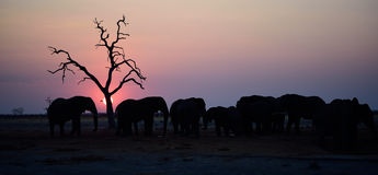 Silhouette of elephants at sunset Stock Images