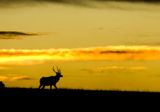 Silhouette of Elk with copyspace Royalty Free Stock Images