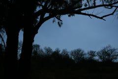SILHOUETTE OF EUCALYPTUS TREE Stock Photos