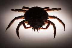 Silhouette, European spider crab, backlighting, stealth, forerun. Scary and spiny figure of European spider crab (Maja Squinado) in studio on backlighting Stock Photography