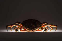 Silhouette, European spider crab, stealth, mystery, dark, suspic. Front view of scary and appetizing European spider crab (Maja Squinado). Shooting on white Royalty Free Stock Photos