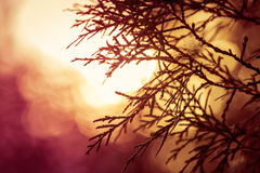 Silhouette of evergreen tree in meadow during sunrise Stock Photo