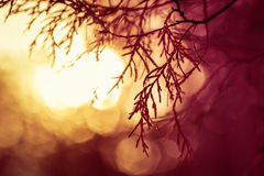 Silhouette of evergreen tree in meadow during sunrise Royalty Free Stock Image