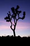 Silhouette för Joshua Tree Royaltyfria Foton