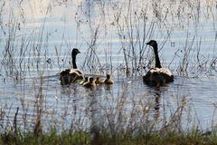 Silhouette of a family of Canadian Geese swimming away Stock Image