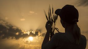 Farmer looks at the ears of wheat, rear view stock photo