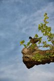 Silhouette of Female duck up a tree Royalty Free Stock Photos