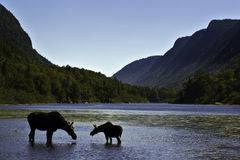 Silhouette female moose with calf Royalty Free Stock Photos