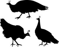 Silhouette of female peafowl Stock Images