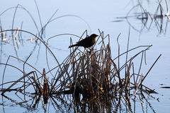 A silhouette of a female yellow headed blackbird in the morning Stock Photography
