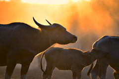 Silhouette with fields filled with herds of buffalo. The atmosphere is beautiful during sunset . Silhouette with fields filled with herds of buffalo Stock Photo