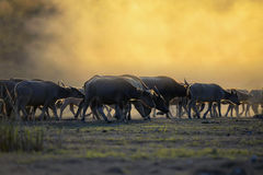 Silhouette with fields filled with herds of buffalo. The atmosphere is beautiful during sunset . Silhouette with fields filled with herds of buffalo Stock Images