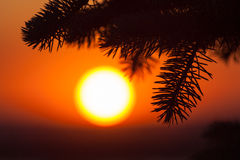 Silhouette of fir tree with amazing sunset Royalty Free Stock Images