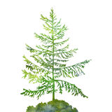 Silhouette of fir tree Royalty Free Stock Photo