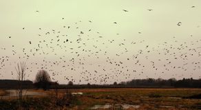 Silhouette of Flock of Birds royalty free stock photo