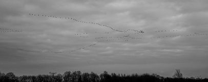 Silhouette of Flock of Birds Flying Under White Clouds Royalty Free Stock Photos