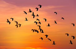 Silhouette flock of lesser whistling duck Dendrocygna javanica flying on sunset Royalty Free Stock Photo
