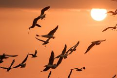Seagulls silhouette flying on the sky stock photography