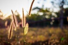 Silhouette flower blade of grass field sunlight rim light. Stock Photo