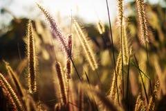 Silhouette flower blade of grass field sunlight rim light. Royalty Free Stock Image