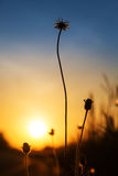 Silhouette flower at sunrise Royalty Free Stock Image