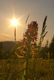 Silhouette of the flower at sunset. Silhouette of the mountain flower at sunset royalty free stock photos