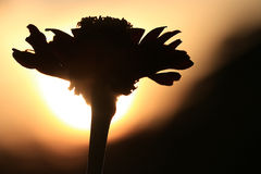 Silhouette of flower at sunset Stock Photo