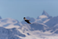 Silhouette of flying alpine chough bird Pyrrhocorax graculus Royalty Free Stock Image