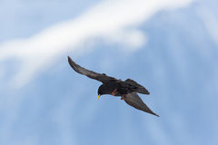 Silhouette of flying alpine chough bird Pyrrhocorax graculus Stock Photography