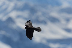 Silhouette of flying alpine chough bird Pyrrhocorax graculus Royalty Free Stock Photo