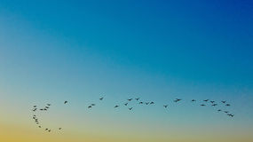 Silhouette flying birds Stock Images