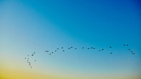 Silhouette flying birds Stock Image