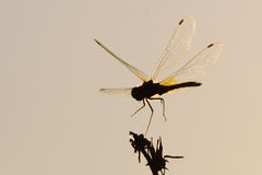Silhouette of flying dragonfly at contrast lightening Stock Images